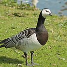 Sympathetic Looking Goose by Robert Abraham
