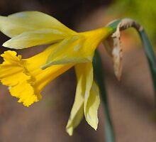 Daffodil - Narcissus jonquilla by vbk70