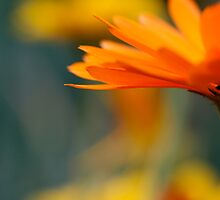 Orange Calendula by ePowell