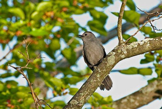 Grey Catbird by ArianaMurphy