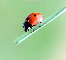 Ladybug and balance by Francesco Malpensi