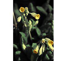Primrose Photographic Print