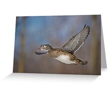 Flight of the Female Wood Duck Greeting Card