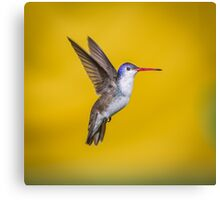 Violet Crowned Hummingbird, Part Of My Hummingbird Art Collection. Canvas Print