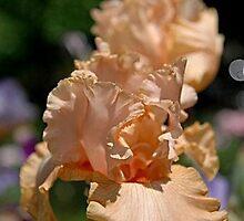 iris up close...  100 views 9-9-11 by dabadac