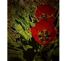 Turn'o the century Tulips Photographic Print