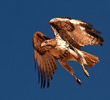 0222111 Redtailed Hawk by Marvin Collins