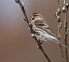 Redpoll Amongst Willow Catkins by Bill McMullen