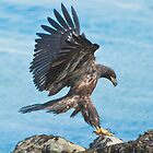 Juvenile Bald Eagle  by j Kirk Photography                      Kirk Friederich