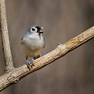 Tufted Titmouse - The Nutcracker by John Absher