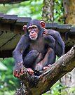 Chimpanzee by Leanne Allen