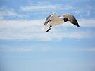 Laughing Gull - Larus atricilla by MotherNature