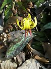 Trout Lily Wildflower - Erythronium americanum by MotherNature