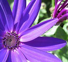 Majestic Purple by BlueMoonRose