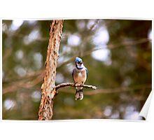 Blue Jay - Ottawa, Ontario Poster