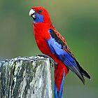 Crimson Rosella. Brisbane, Queensland, Australia. (2) by Ralph de Zilva