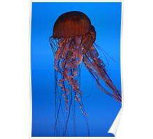Jellyfish, Atlanta Aquarium Poster