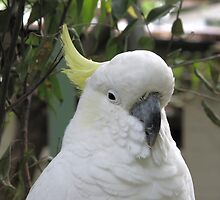 Sulphur Crested Cuckatoo by minniemanx