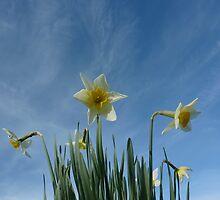 Daffodils 2 by g369