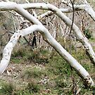 Ghost Gums Synchronized by mmargot