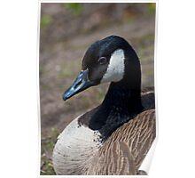 Canada Goose Closeup Poster
