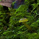Green Hygrocybe sp? by Colin12