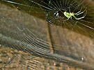 Orb Web Weaver Spider - Leucauge venusta by MotherNature