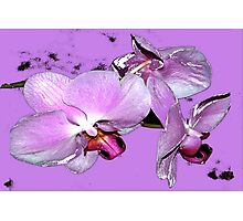Purple orchids on purple background Photographic Print