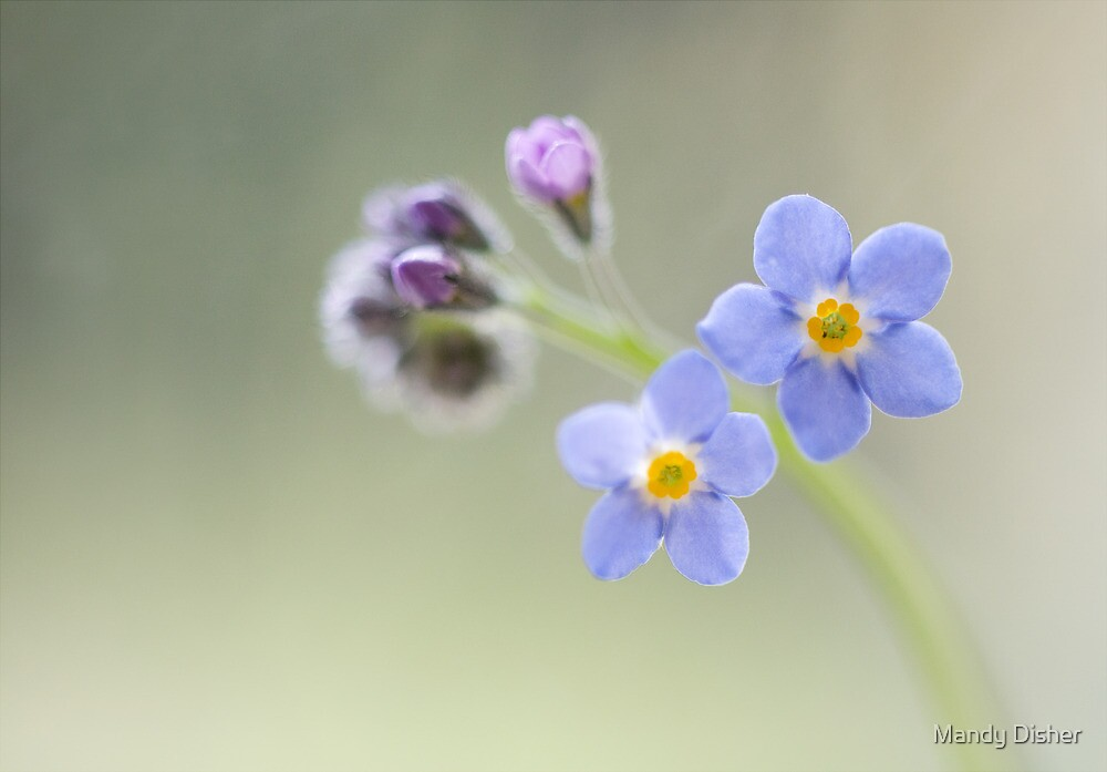 Forget me not by Mandy Disher
