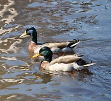 Elaborately Colored Perching Ducks by tferg95