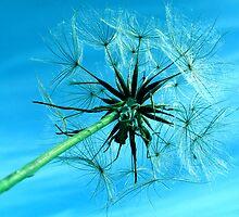 Dandelion by Nasko .