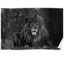 Whipsnade alpha male Poster