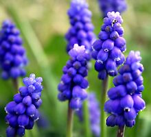 Grape-Hyacinths by TallulahMoody