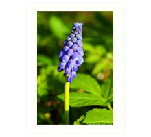 Grape-Hyacinths Art Print
