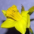 Sweet Daffodil! by PatChristensen