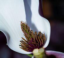 Magnolia by Dania Reichmuth