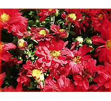 Red Mums Photographic Print