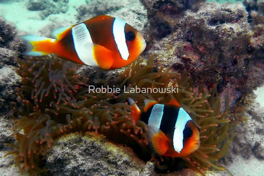 Madagascar Anemonefish by Robbie Labanowski