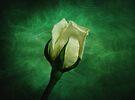 White Rose Opening by Sandy Keeton