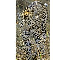Leopard on the hunt-stalking! Photographic Print
