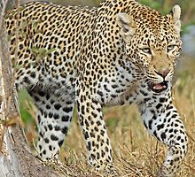 Leopard on the hunt-running! by jozi1