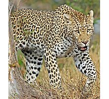 Leopard on the hunt-running! Photographic Print