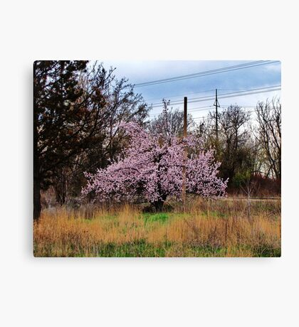 Lone Fruit Tree Canvas Print
