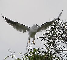 Black Shouldered Kite by paulinea