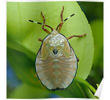 Bronze Orange Stink Bug Nymph - Musgraveia sulciventris Poster