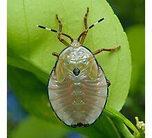Bronze Orange Stink Bug Nymph - Musgraveia sulciventris Photographic Print