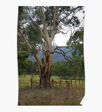 Gum tree Megalong Valley NSW Poster
