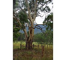 Gum tree Megalong Valley NSW Photographic Print