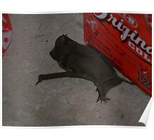Big Brown Bat - Probably Injured Poster