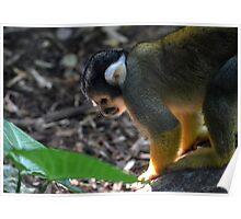 Bolivian Squirrel Monkey Poster